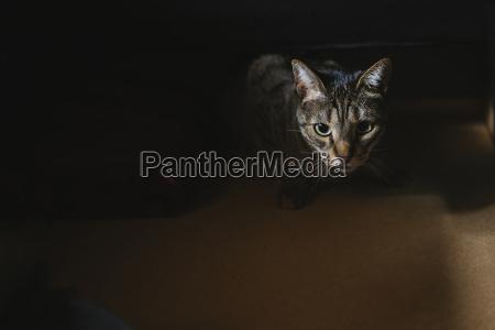 portrait of starring tabby cat