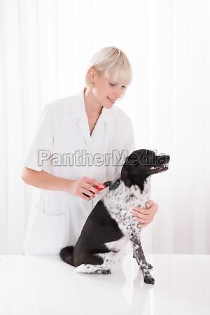 female vet grooming dogs hair