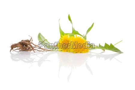 dandelion hintergrundpflanzliche heilmittel