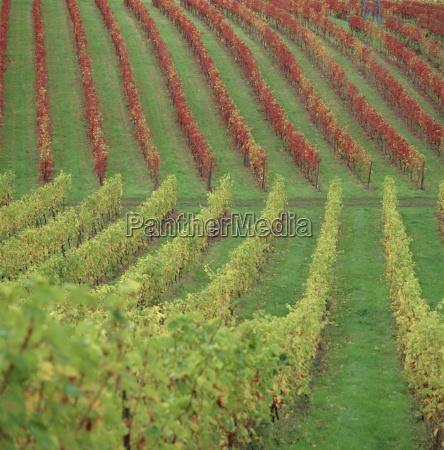 vineyard dorking surrey england uk europe