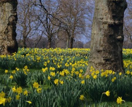 daffodils flowering in spring in hyde