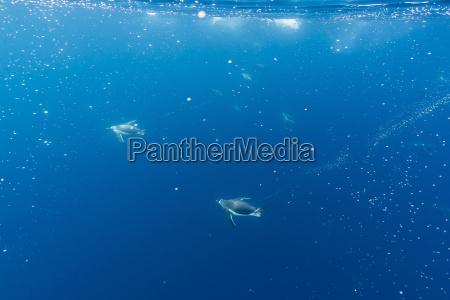 gentoo penguins pygoscelis papua feeding underwater