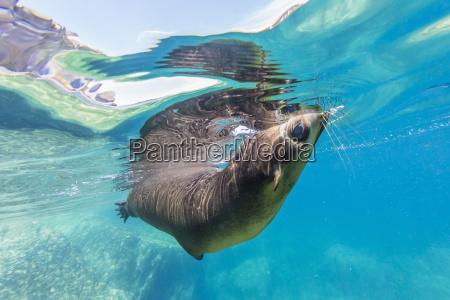 adult california sea lion zalophus californianus