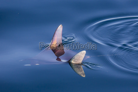 mobula mobula spp with wingtips above