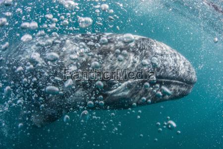 california gray whale eschrichtius robustus calf