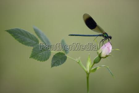 male banded demoiselle on rose bud