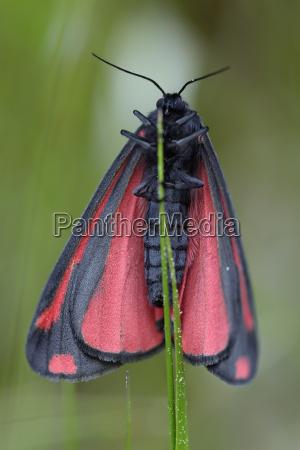 cinnabar moth on blade of grass