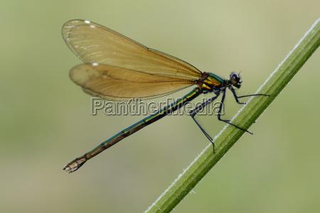 female beautiful demoiselle on blade of