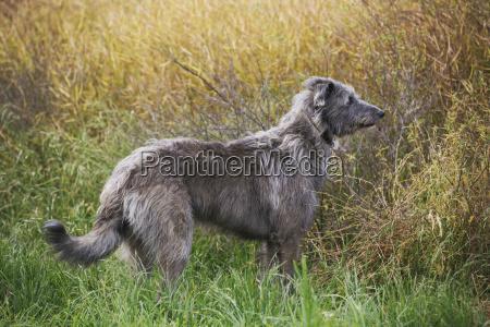 deerhound in einem feld
