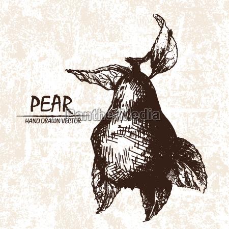 digital vector detailed pear hand drawn