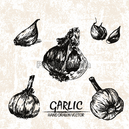 digital vector detailed garlic hand drawn