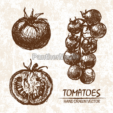 digital vector detailed tomatoes hand drawn