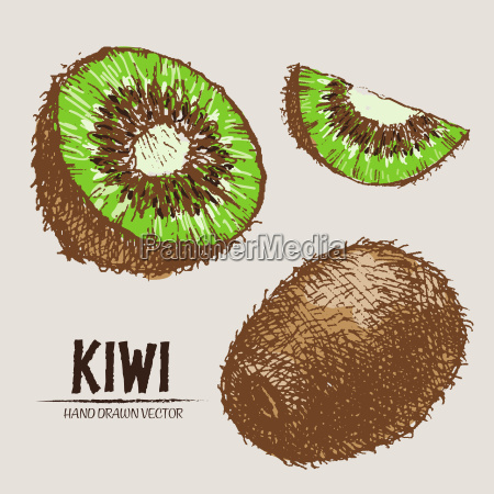 digital vector detailed color kiwi hand