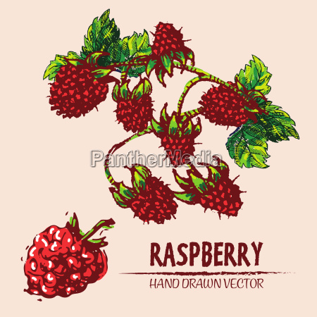 digital vector detailed color raspberry hand