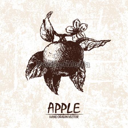 digital vector detailed apple hand drawn