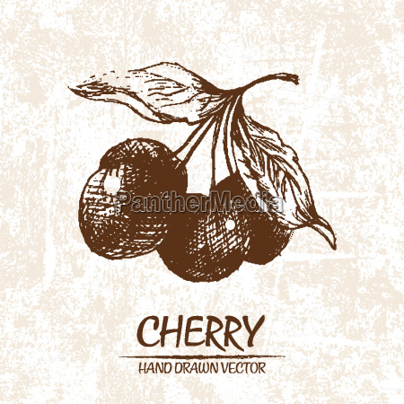 digital vector detailed cherry hand drawn