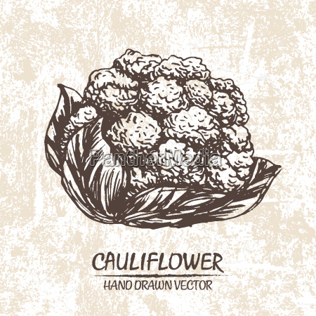 digital vector cauliflower hand drawn illustration
