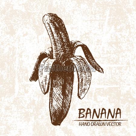 digital vector detailed banana hand drawn