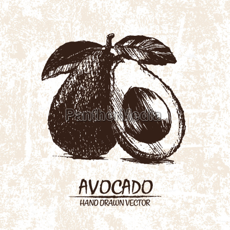 digital vector detailed avocado hand drawn