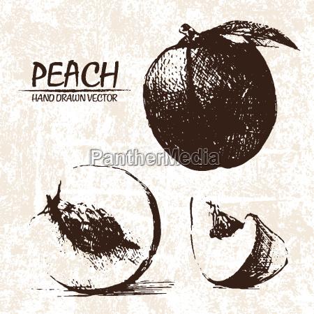 digital vector detailed peach hand drawn