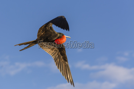 adult male magnificent frigatebird fregata magnificens