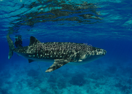 philippines donsol whale shark