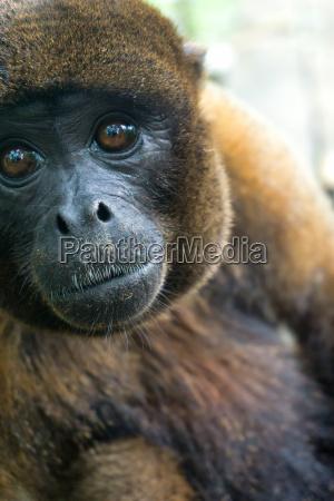 woolly monkey closeup