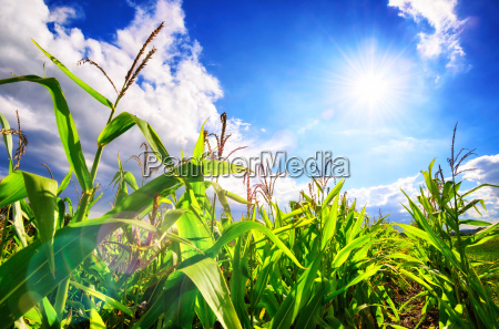 corn field with the sun blue