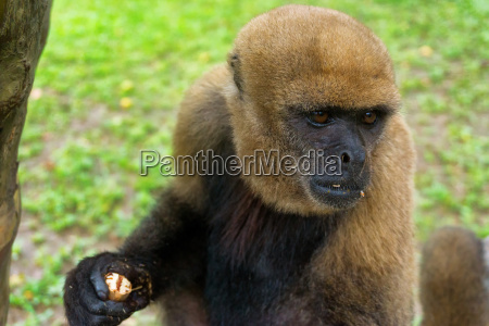 view of a woolly monkey