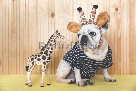 french bulldog wearing giraffe headband and