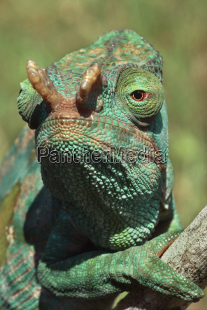 tier reptil gruen gruenes gruener gruene