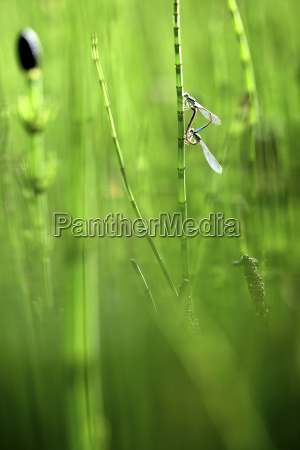 emerald damselflies paired up and in
