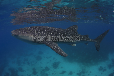 whale shark in the sea