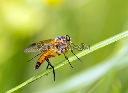 golden yellow rhagionidae